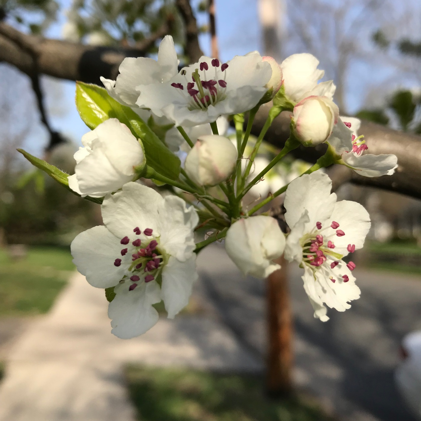 Blooming cluster of white flowers