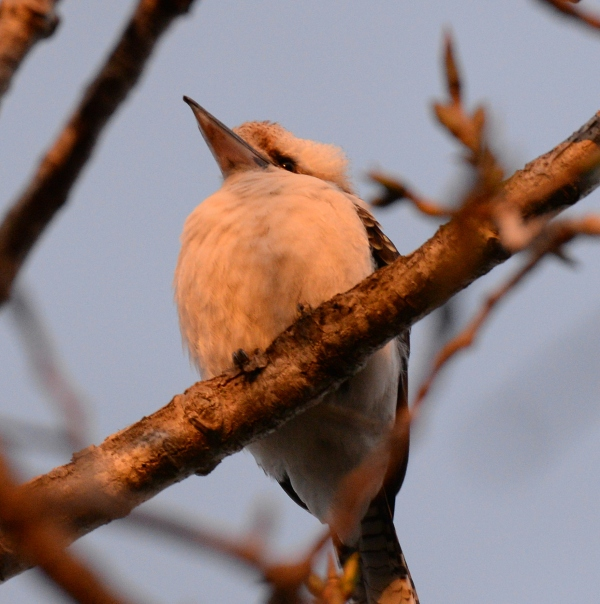 Kookaburra sitting on branch in Sydney, Australia